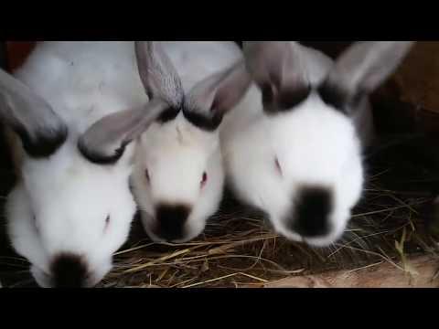 Как подбросить крольчат другой самке?