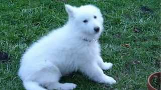 BERGER BLANC SUISSE A POIL LONG - HASKO - (12 semaines)(Swiss white shepherd has long hair).avi