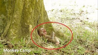 Pity baby monkey, Baby monkey cry because Mum fighting with other monkeys, Monkey Camp part 1374