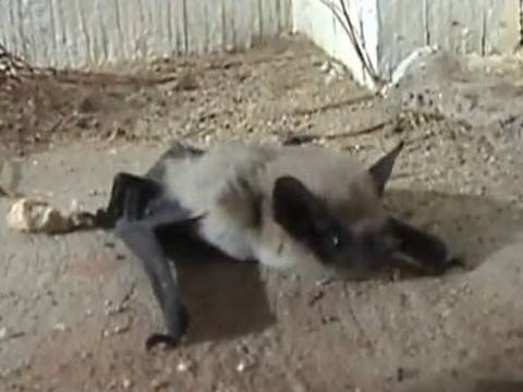 Western Pipistrelle Bat on Front Porch Video