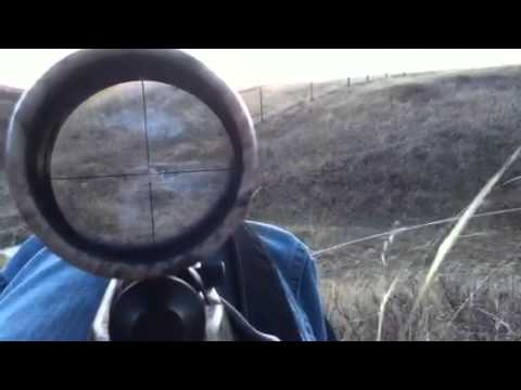 Coyote Hunting With A 17HMR