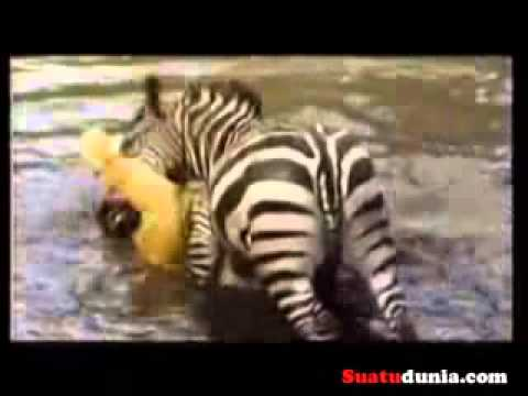 Lion Attack Zebra video