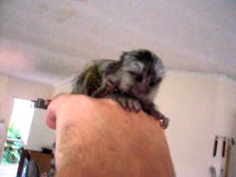 Marmoset Babies For Sale Baby Marmoset Monkey
