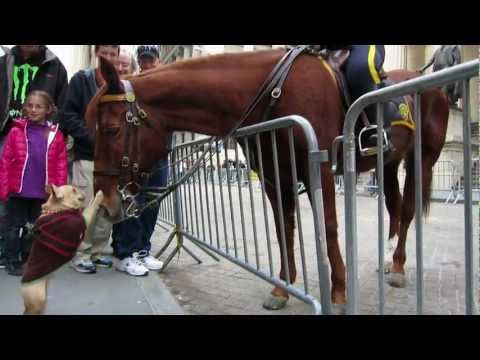 Adorable Dog (Frenchie!) Plays with NYPD Police Horse on Wall Street