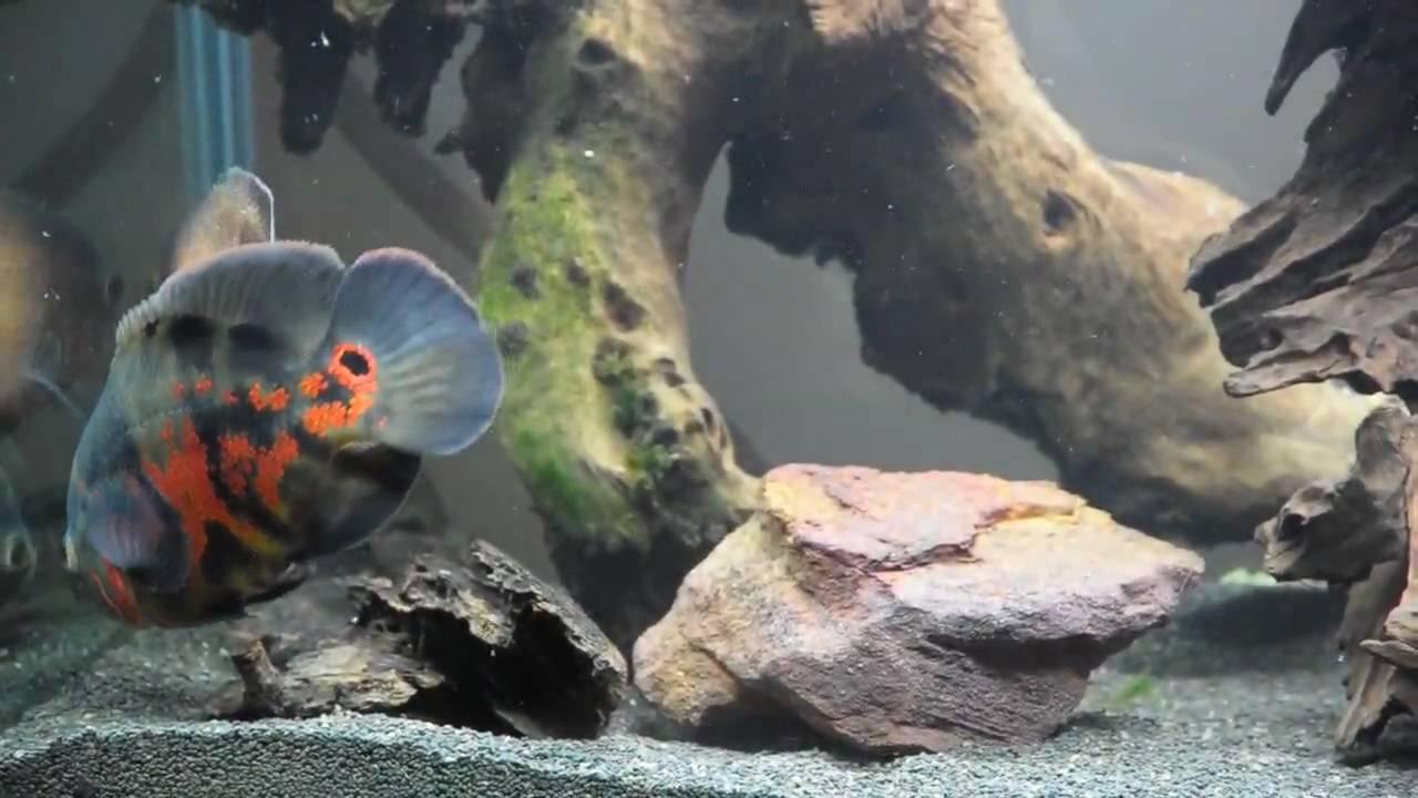 Oscar Fish In 500 Litre Aquarium Youtube