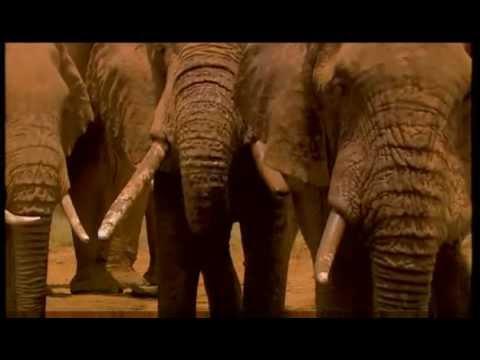 Elefanten in der Savanne von Ostafrika 2011