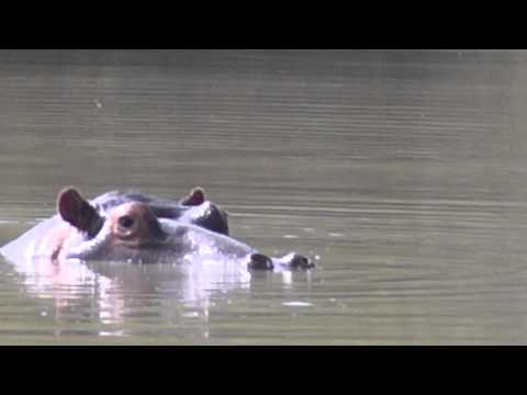 7th May 2013     (Hippos sunbathing)     Manyeleti Game Reserve, South Africa.