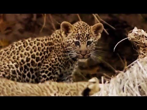 Is A Leopard A Big Cat