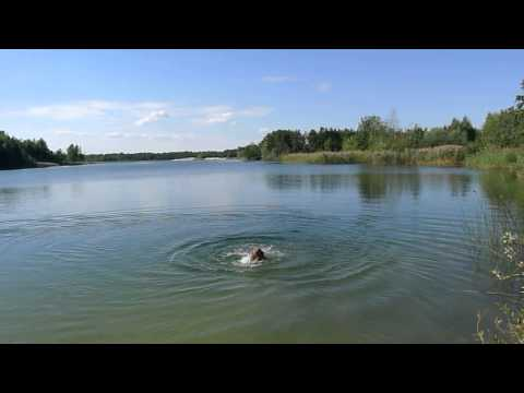 Hungarian vizsla swimming (5 month old)