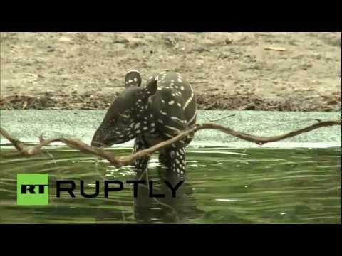 Germany: Rare baby tapir settles in to life at Leipzig zoo