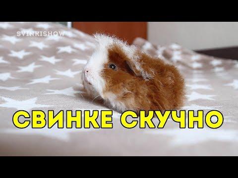 У КУЗИ ПРОРЕЗАЛСЯ ГОЛОС / МОРСКАЯ СВИНКА ГРУСТИТ