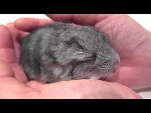 Baby Chinchilla Dozes Off in my Hand