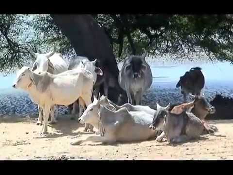 Rajasthan Camel Safari video