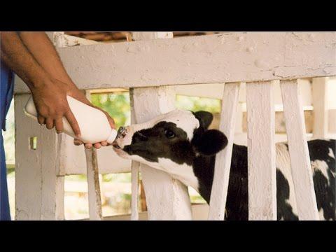 Clique e veja o vídeo Curso Shamballah - O Segredo da Alta Produtividade Leiteira