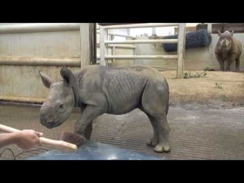 It's a Girl! (A Really BIG Girl.) Zoo Celebrates Black Rhino Birth