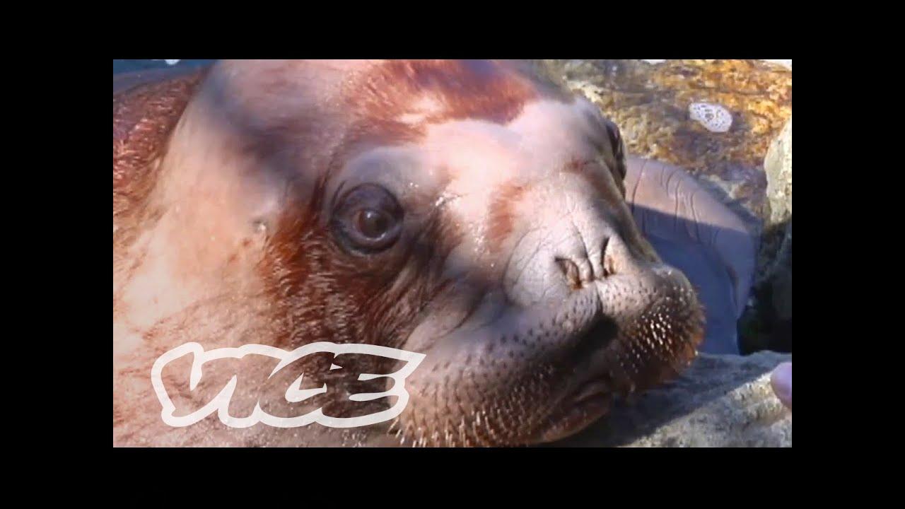 Cute Baby Walrus