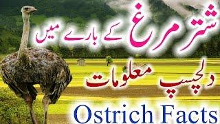 Ostrich Information Urdu Hindi Shutar Murgh History Facts New