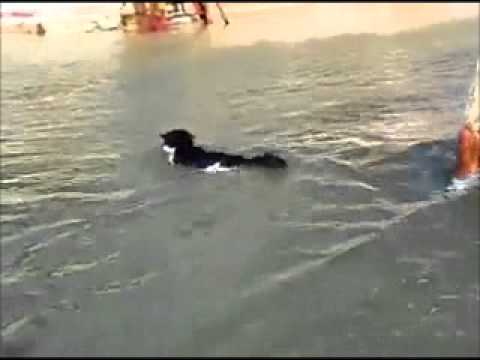 Cat Goes for a Swim in the Sea