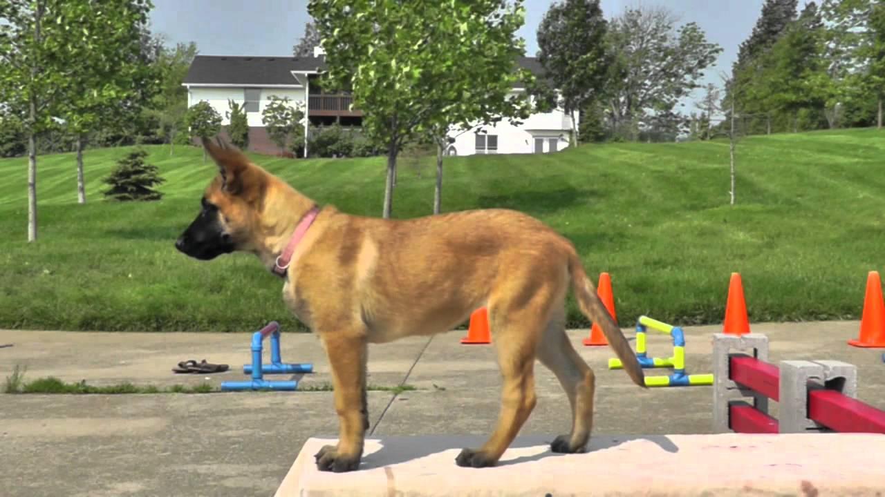 Training A Guard Dog Puppy