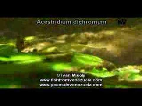 Header of Acestridium dichromum