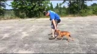 Training   Jon working on heeling with Rockie   Solid K9 Training Dog Training