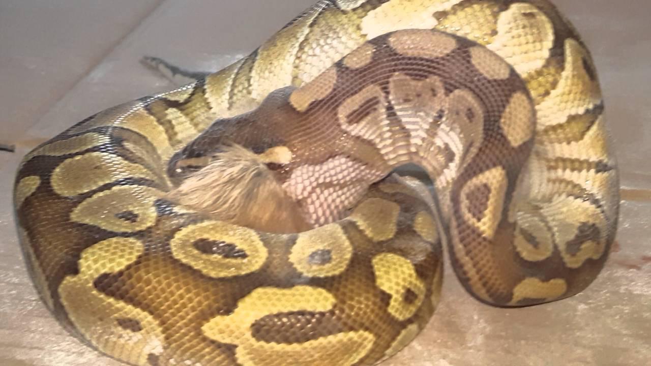 Snake eats a baby