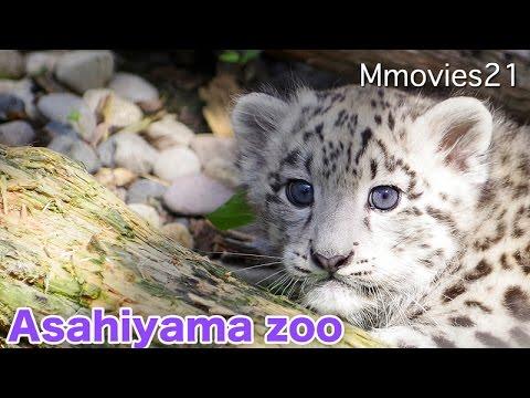 ユキヒョウとトラの赤ちゃん公開 夏の旭山動物園2016