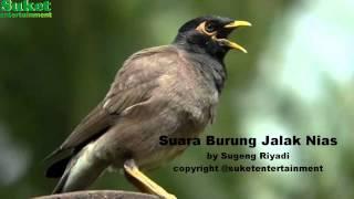 Suara Burung Jalak Nias