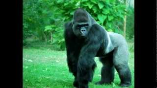 Top 10 Deadliest Apes and Monkeys