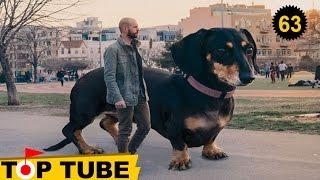 Chuyện Lạ Thế giới: TOP 10 Giống Chó TO, CAO, ĐEN, HÔI Nhất Hành Tinh [Top tube 63]