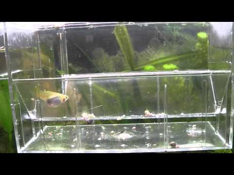 fantastico parto de una hembra de pez guppy
