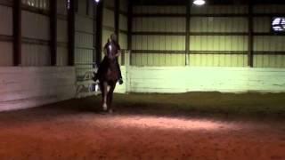 American Saddlebred Gelding for Sale: An Irish Victory