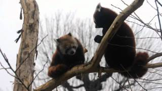 boxing Red Pandas
