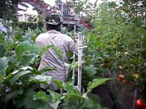 melanzane giganti del geom.pino num.1