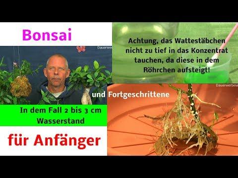 Bonsai für Anfänger welche Pflanze ist als Zimmer Bonsai geeignet