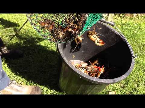 Signal Crayfish From Trap to Plate