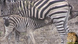 Cute Baby Zebra Nursing
