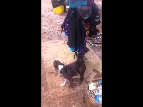 South Florida Renaissance Festival Dog tricks