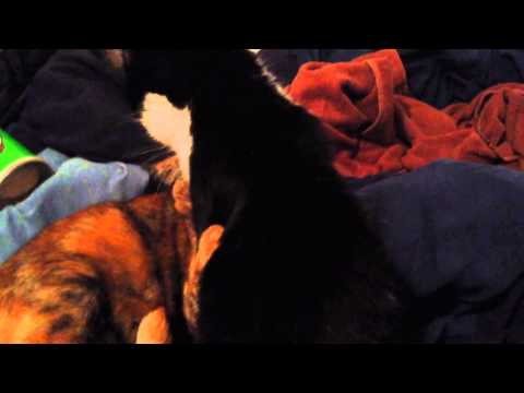 Kitties Licking Session video