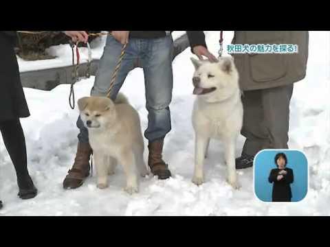 秋田犬の魅力を探る!