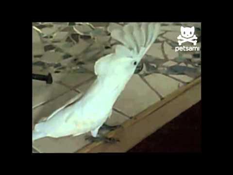 Kakadu szczeka