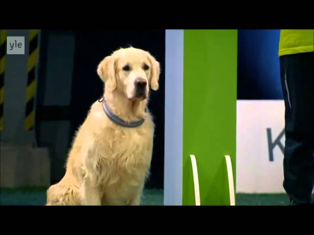 play video: Hilarious Golden Retriever Really Wants To Race But.. First Things First.