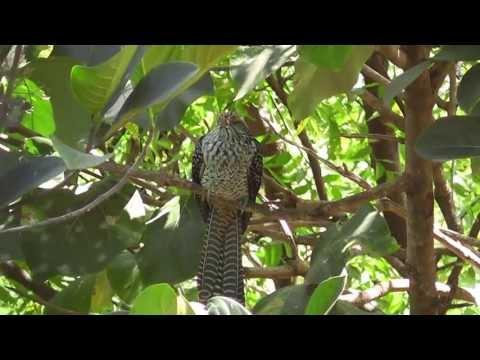 Asian Koel Male And Female video