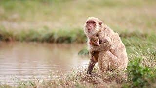 Puerto Rico Moves Forward: Macaque Monkeys Adapt After Hurricane Maria