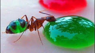 Ich habe meine Killer Ameisen gefärbt - Experiment