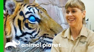 Hunter The Blind Tiger Gets a Check-Up For His Prosthetic Eyes | Crikey! It's The Irwins