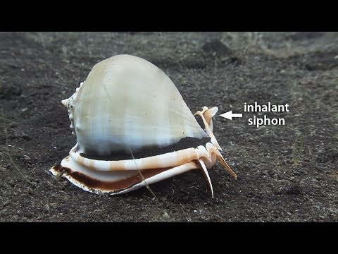 """Sea snails and electric flame scallop. Part 17 of my documentary, """"Mucky Secrets"""", about the fascinating marine creatures of the Lembeh Strait in Indonesia. Watch the full 90-minute documentary at http://www.youtube.com/watch?v=nJMZ6reOB0E  As we continue to examine molluscs (mollusks, Mollusca)  in this documentary series, we take a quick look at the electric flame scallop (Ctenoides ales), otherwise known as the """"disco clam"""", """"fire clam"""" or """"electric clam"""". The flame scallop is a type of bivalve (Bivalvia). It appears to emit luminescent electrical pulses, but actually it is rolling and unrolling the edges of its mantle, revealing special particles that simply reflect light. The display is thought to attract phytoplankton as food and perhaps frighten off predators like crabs and shrimps.  We then turn our attention to sea snail (gastropods, Gastropoda). The grey bonnet (Phalium glaucum) is a typical sea snail. It has a protective, coiled shell that it can withdraw its entire body into. It glides over the substrate on its large, muscular foot, and at the rear we see the operculum, a hard lid that is used to close the opening of the shell after the snail withdraws into it. Two simple eyes peer out from under the front of the shell, and important sensory feedback also comes from the two tentacles. To one side is the inhalent siphon, a tube that the sea snail uses to draw in water for respiration.  The anatomy of another gastropod, the vomer conch (Euprotomus vomer), is different. Its mouth is much more obvious, at the end of a long protrusion called a proboscis. It is strictly a herbivore, and it uses the proboscis for locating and eating algae growing in the sand. It's eyes are much more prominent too, at the end of long stalks, and jutting out from these stalks are two highly sensitive tentacles. Rather than gliding, it uses its operculum to drag itself along the bottom in a lurching motion.  Conchs are a popular food, and their shells have symbolic and religious s"""