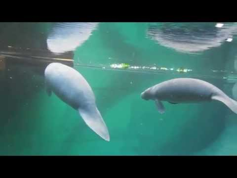 Manaty W Afrykarium - Oceanarium We Wrocławiu