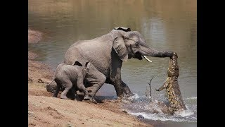 Amazing Elephant Save Baby Elephant From Crocodile Hunting   Animals Hunting Fail  by Animal kingdom