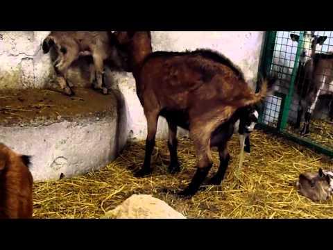 mise bas d'une chèvre